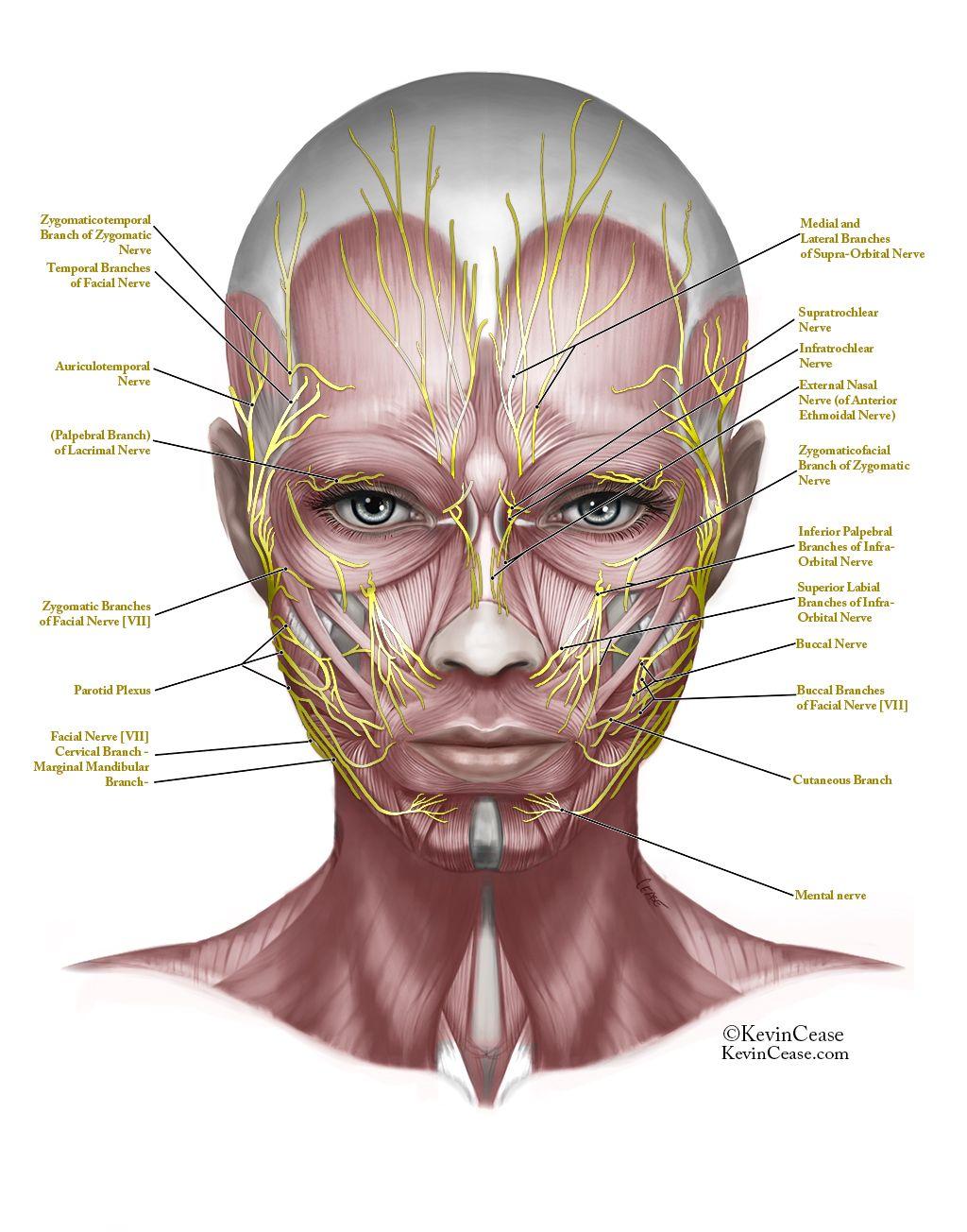 Resultado De Imagen De Face Anatomy Auxiliares De Enfermeria