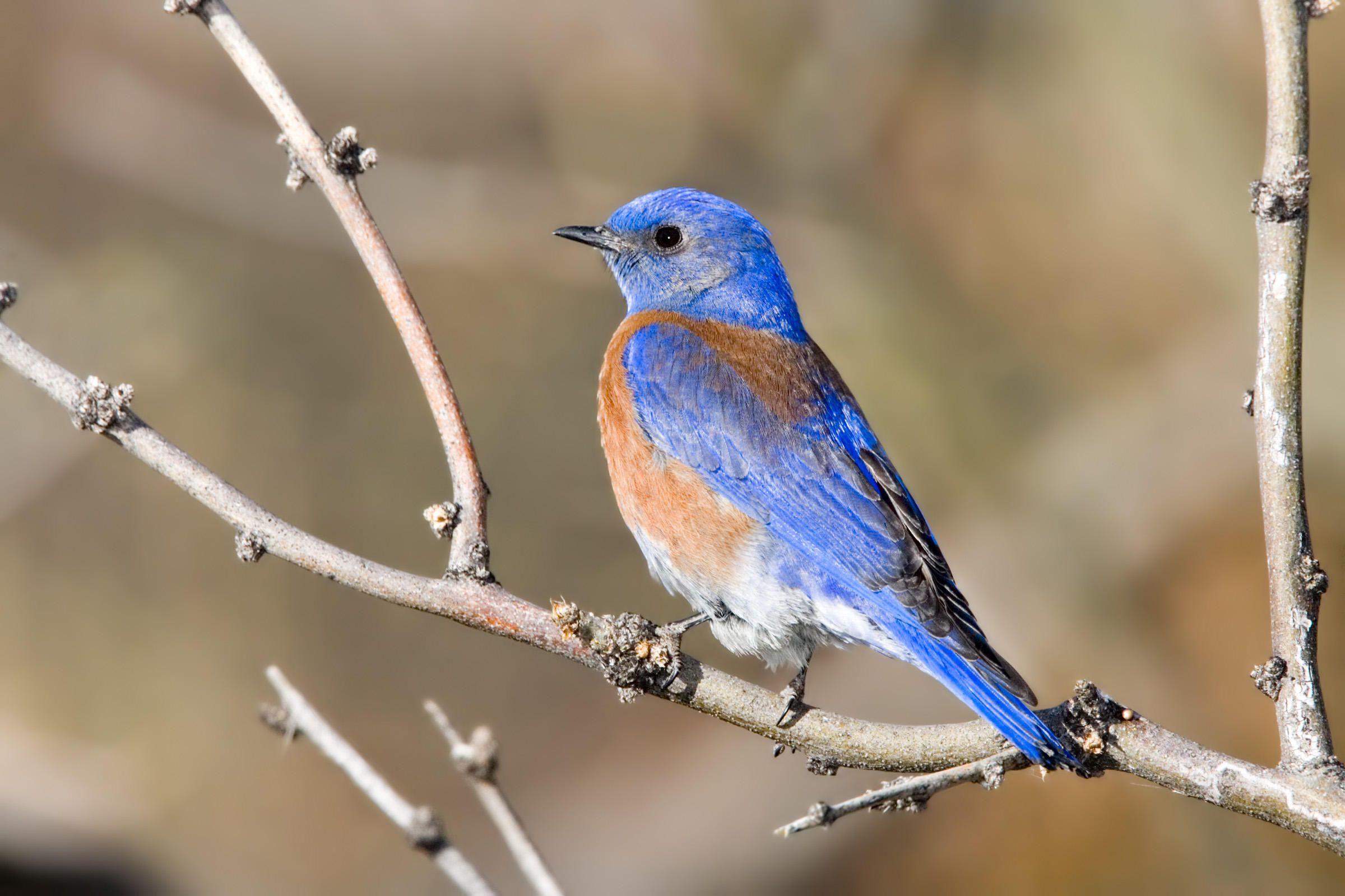Western Bluebird Blue Bird Birds Beautiful Birds