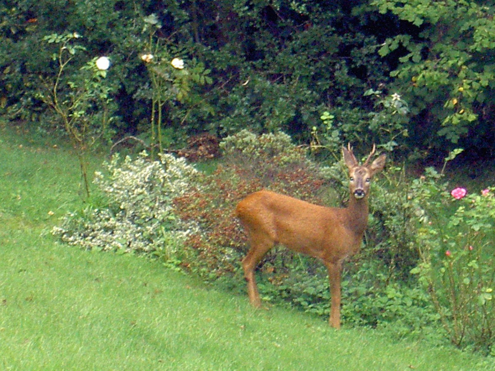 Deer eating my roses