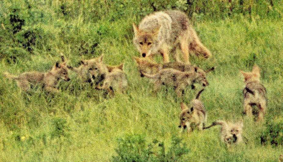 Anatomy of a Coyote attack ~~ The coyote is a fast-running carnivore ...