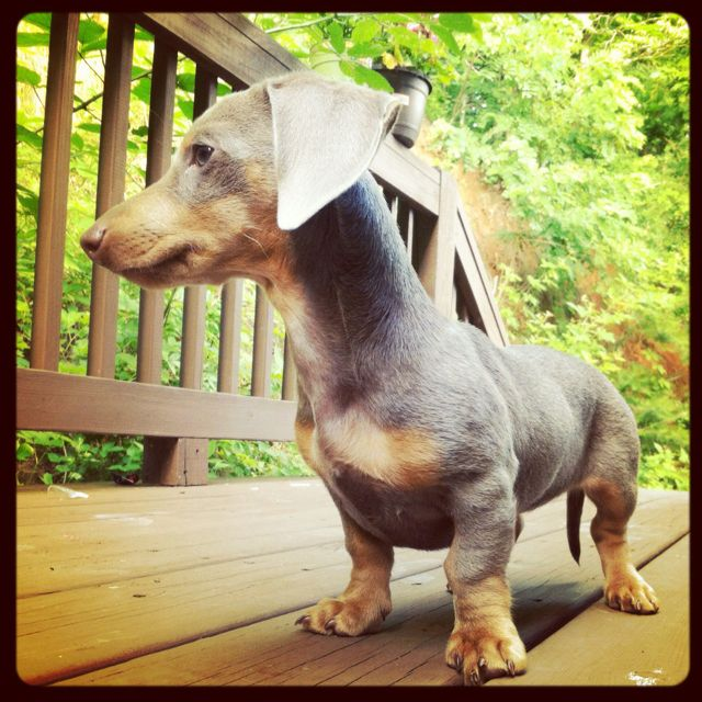 Dachshund What S A Long Neck Little Foot Doxie Puppies