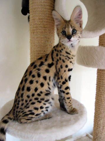 Free Savannah Cats For Adoption Female Serval Savannah Kittens And Margay Kittens For Sale Adoption Serval Kitten Savannah Kitten Wild Cats
