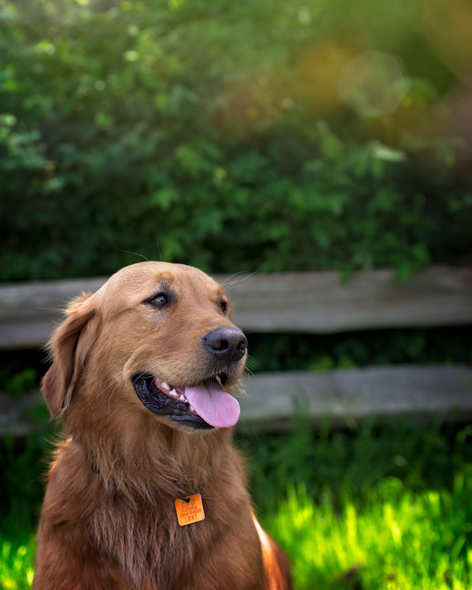 Luke A Field Retriever Dogs Puppies Dog Photography Dogs