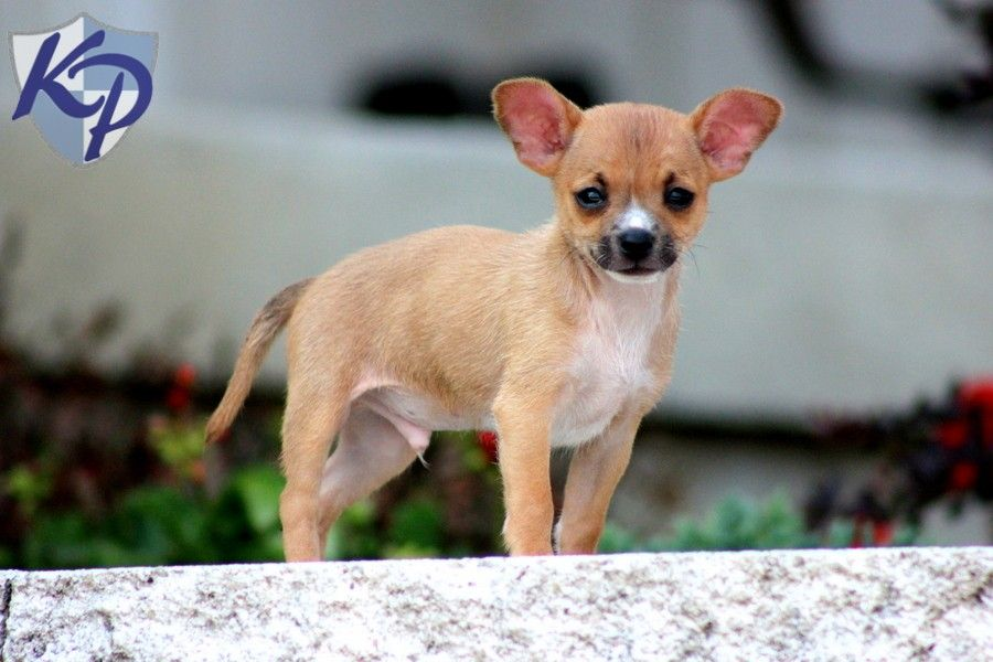 Puppy Finder Find Buy A Dog Today By Using Our Petfinder Chihuahua Puppies For Sale Puppy Finder Puppies