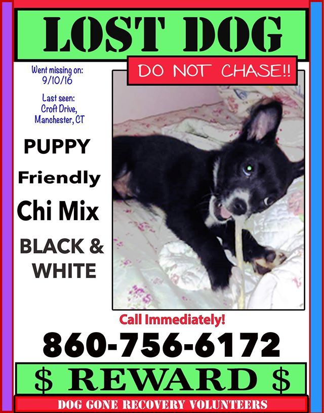 manchester, black white chi mix Squishy Losing a dog