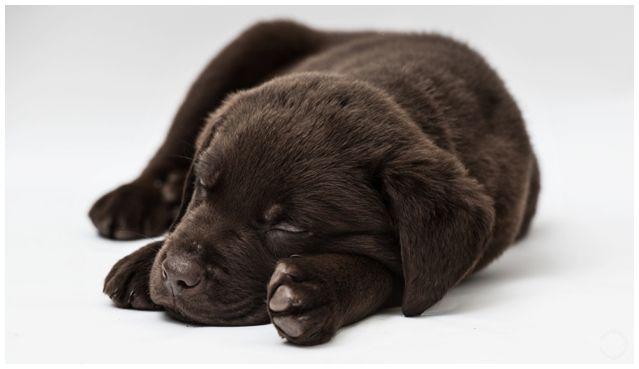 Chocolate labrador puppy sleepy time