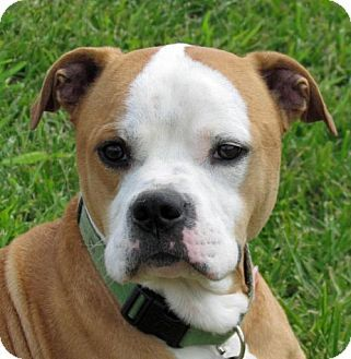 Madison, IN Boxer Mix. Meet Carmel, a dog for adoption