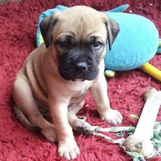 Gorgeous Puppy Mastiff X Rhodesian Ridgeback X American Bulldog