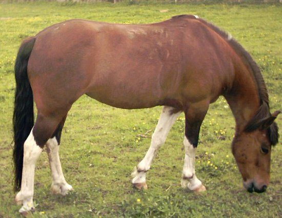 Lewitzer Pony   Welt der Pferde