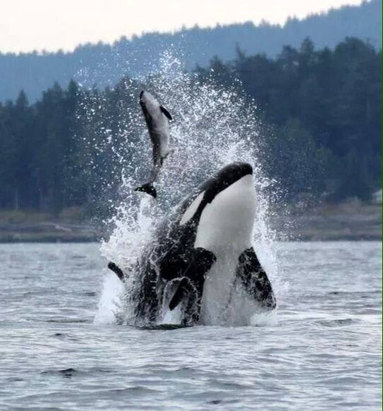 Orca feeding. Awesome Orca - Killer whale. I do not ...
