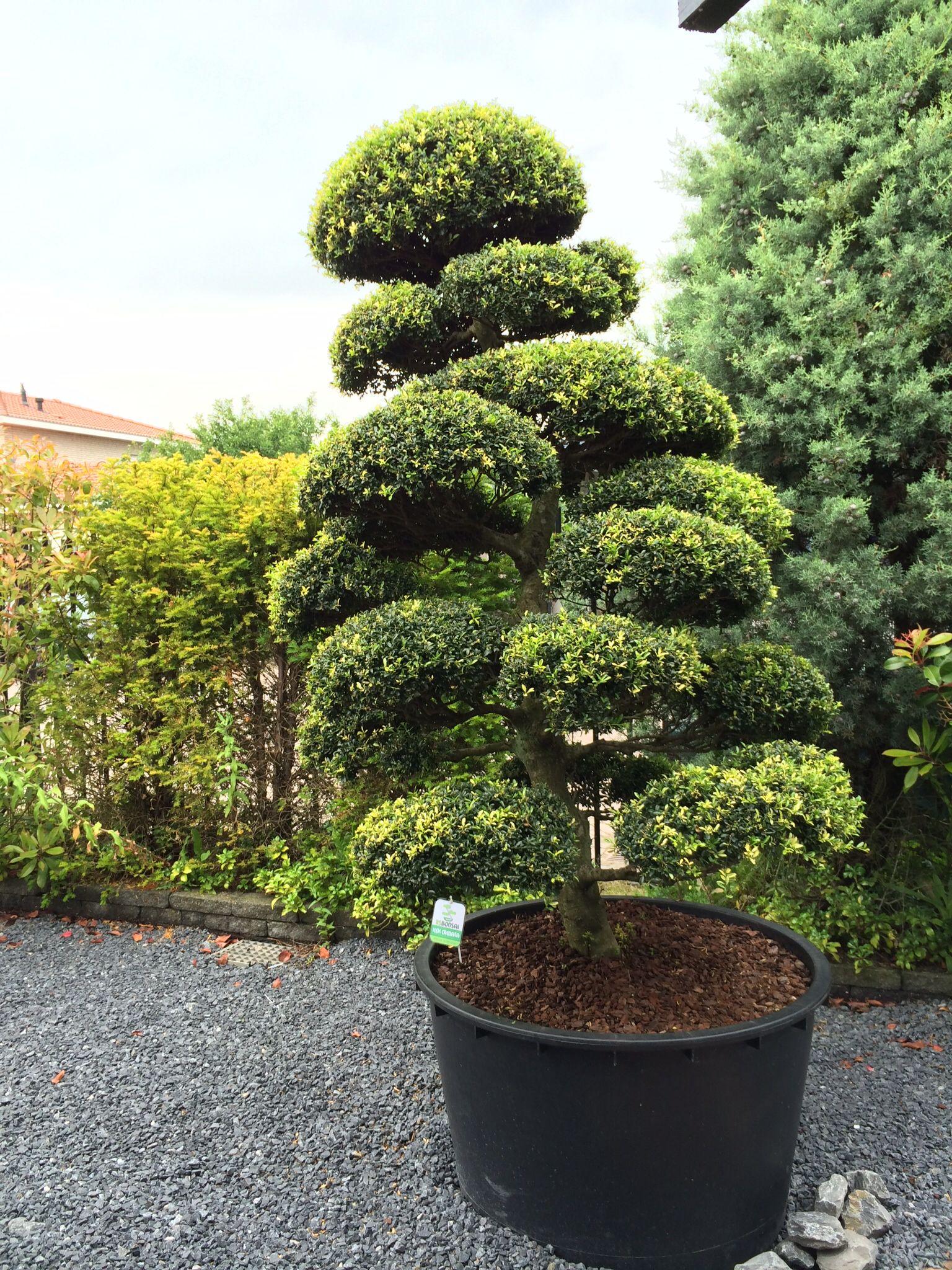 Photo Jardin Zen Chez Particulier arbres nuage japonais - bonsai geant juniperus virg. 'glauca