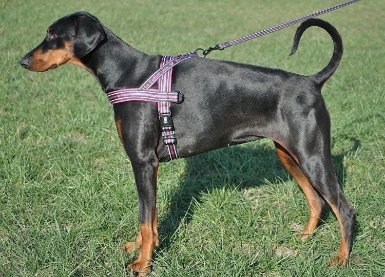Hurtta Harness With Weight Training Attachment Dog Design Fur