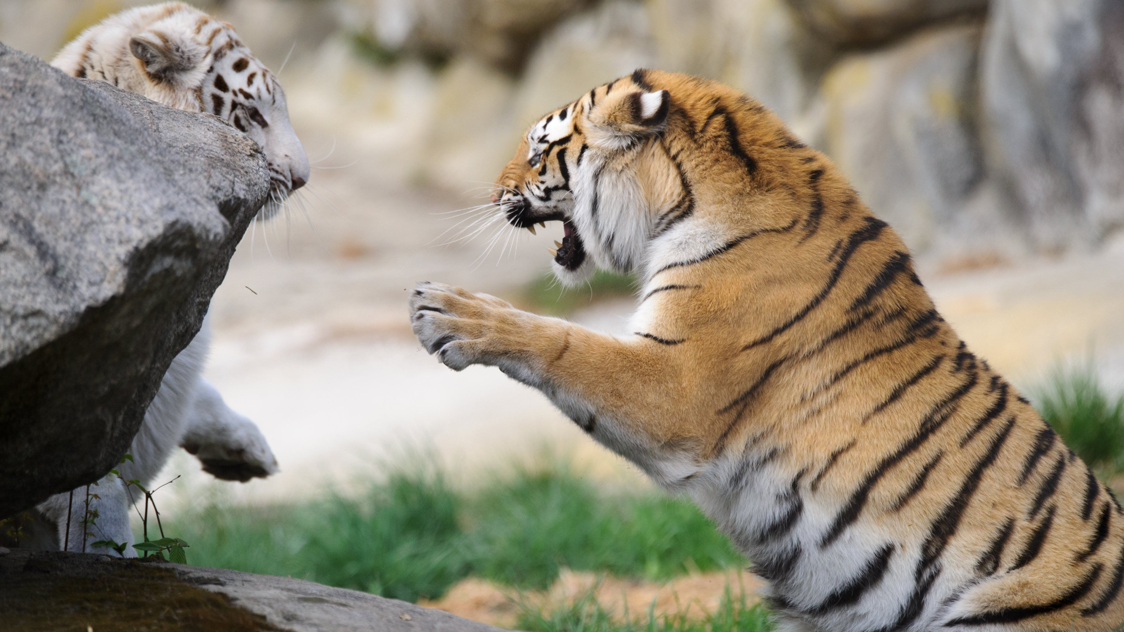 Animal tiger animal nature fight white black - Ultra hd animal wallpapers ...