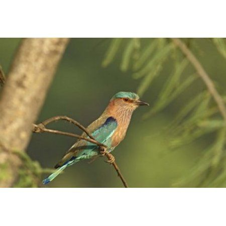 Indian roller bird Corbett NP Uttaranchal India Canvas Art - Jagdeep Rajput DanitaDelimont (26 x 18)