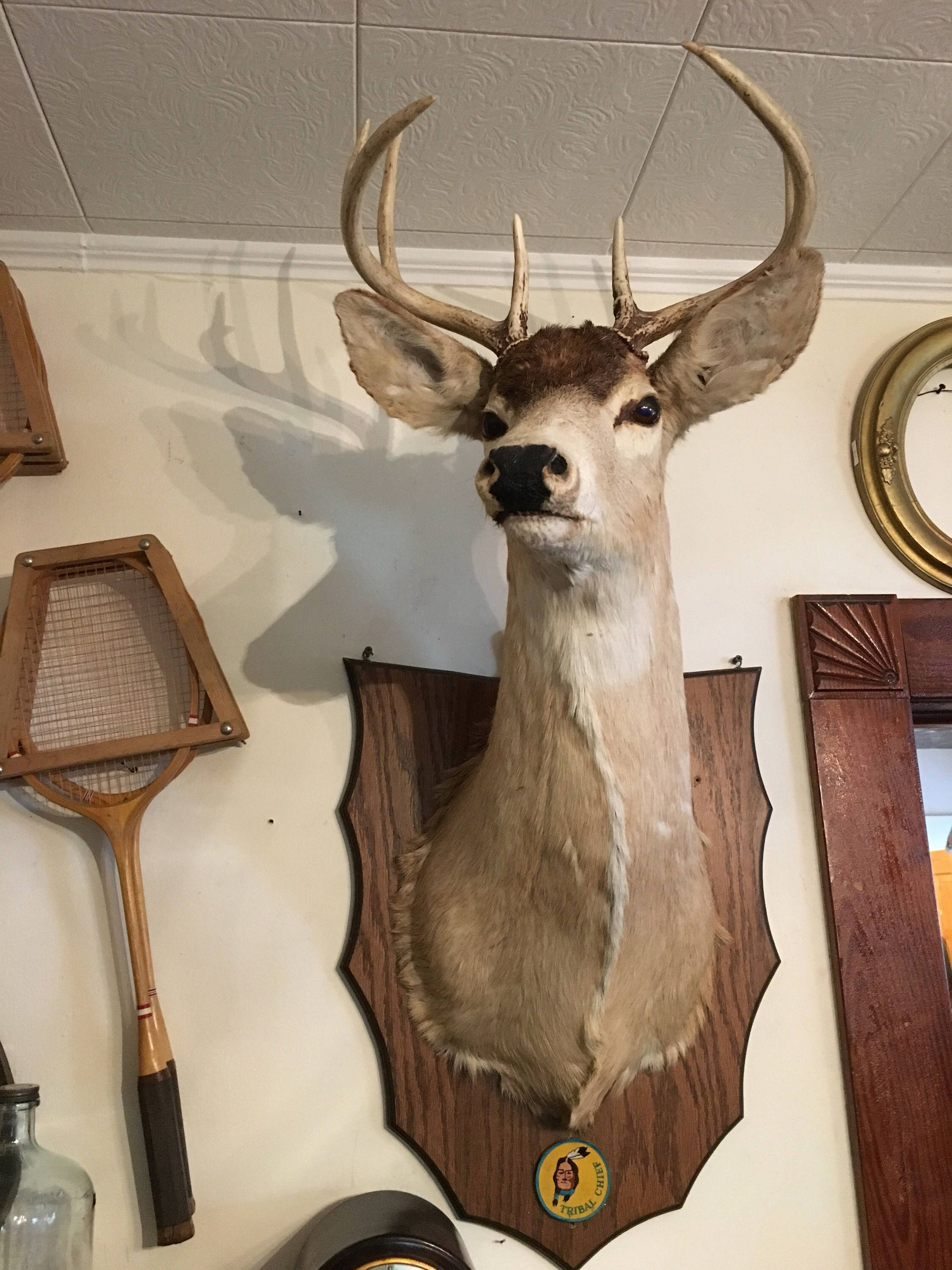 Beautiful american white tail deer mount great condition