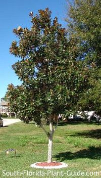 Tree In A Front Yard Magnolia Trees Magnolia Tree Landscaping Florida Landscaping