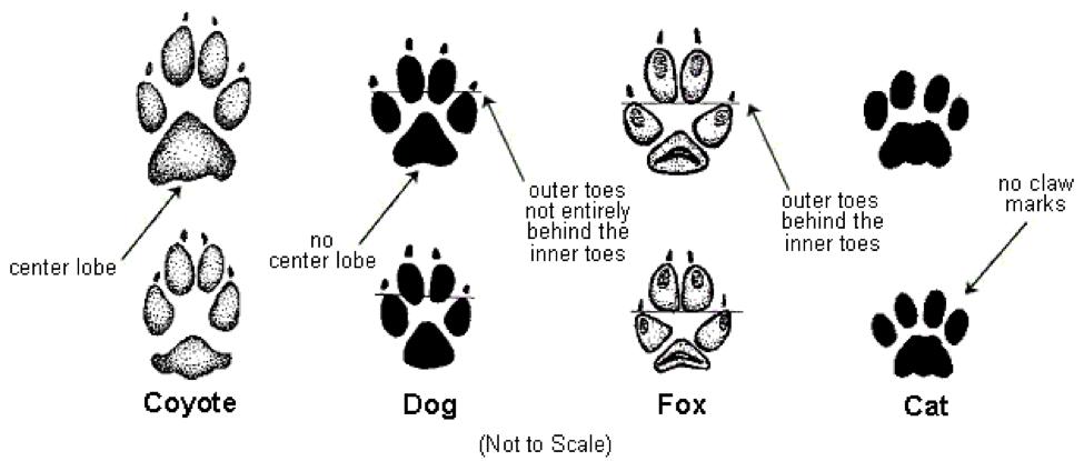 Distinguishing coyote, dog, fox, and cat tracks in the snow. | Fox tracks  in snow, Coyote tracks, Animal tracks
