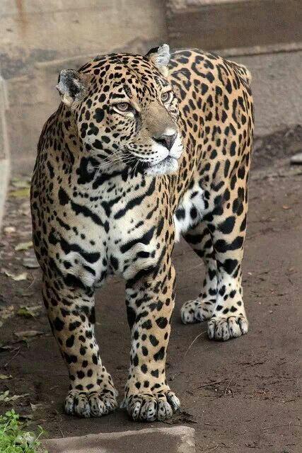 Jaguar A Muscular Big Cat Big Cats Wild Cats Animals