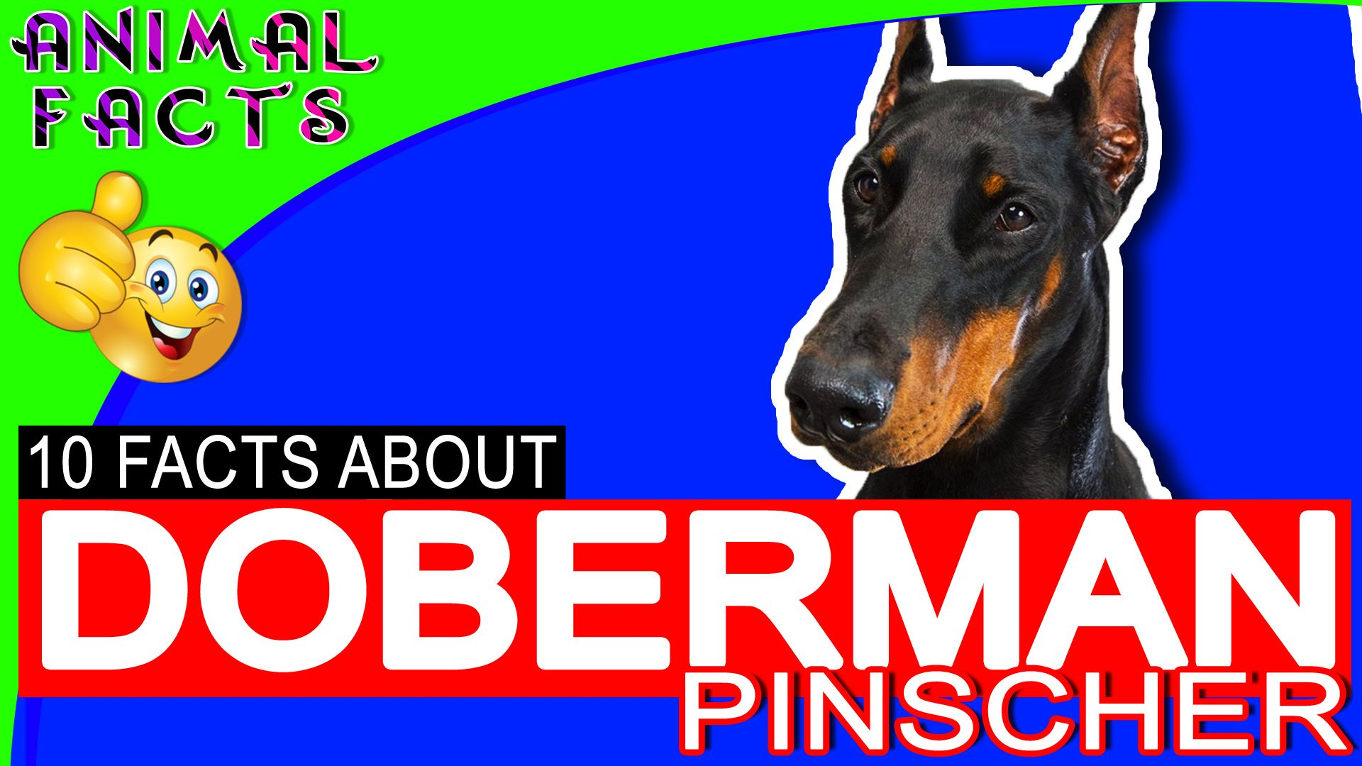 Doberman Pinscher Dogs 101 Interesting Facts And Information Dog