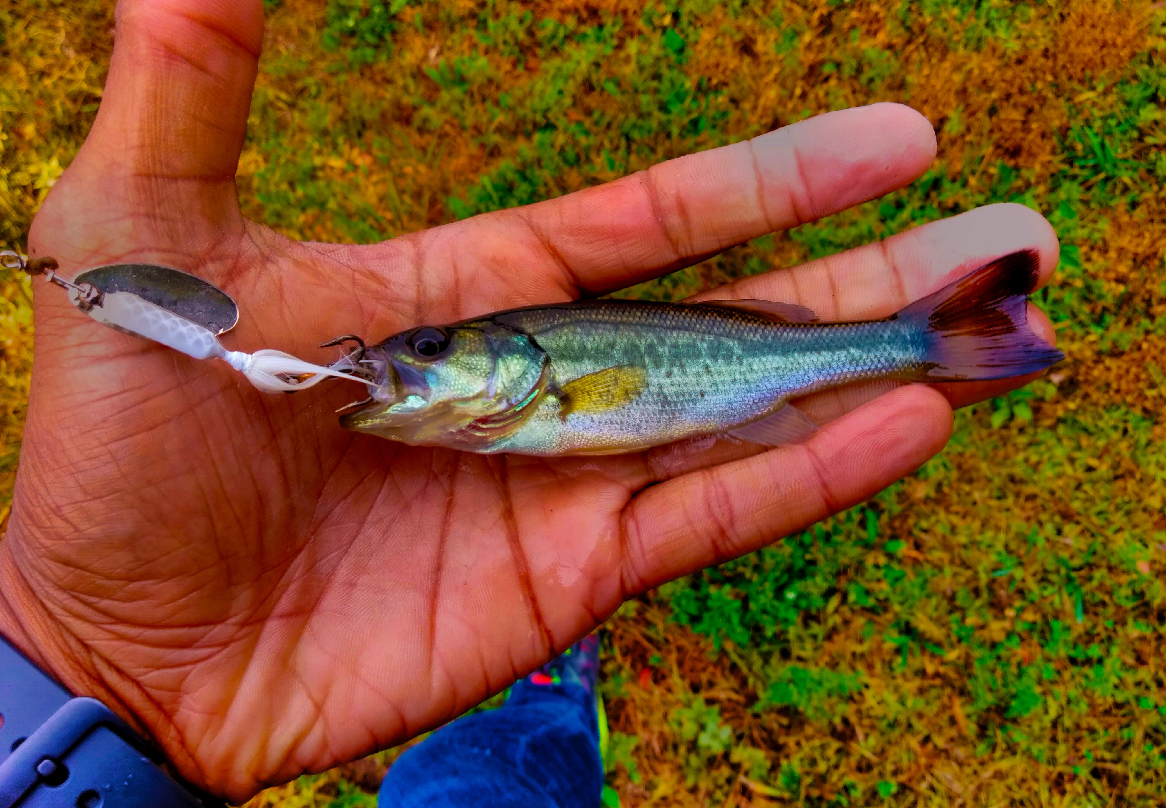 Baby Bass On A Rooster Tail Rooster Tail Fishing Pictures Fish
