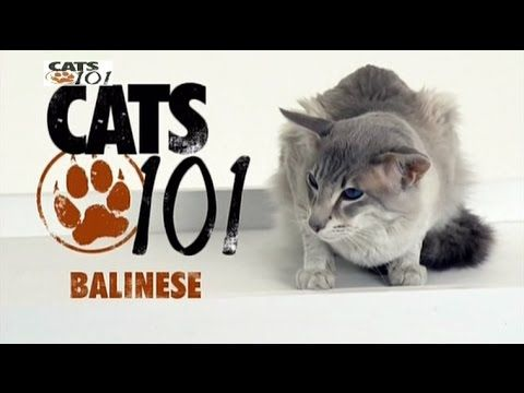 Cats 101 Balinese Eng Balinese Cat Cats Cats 101