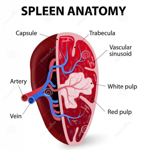Spleen Anatomy Gross View Masage Pinterest Anatomy Notes And