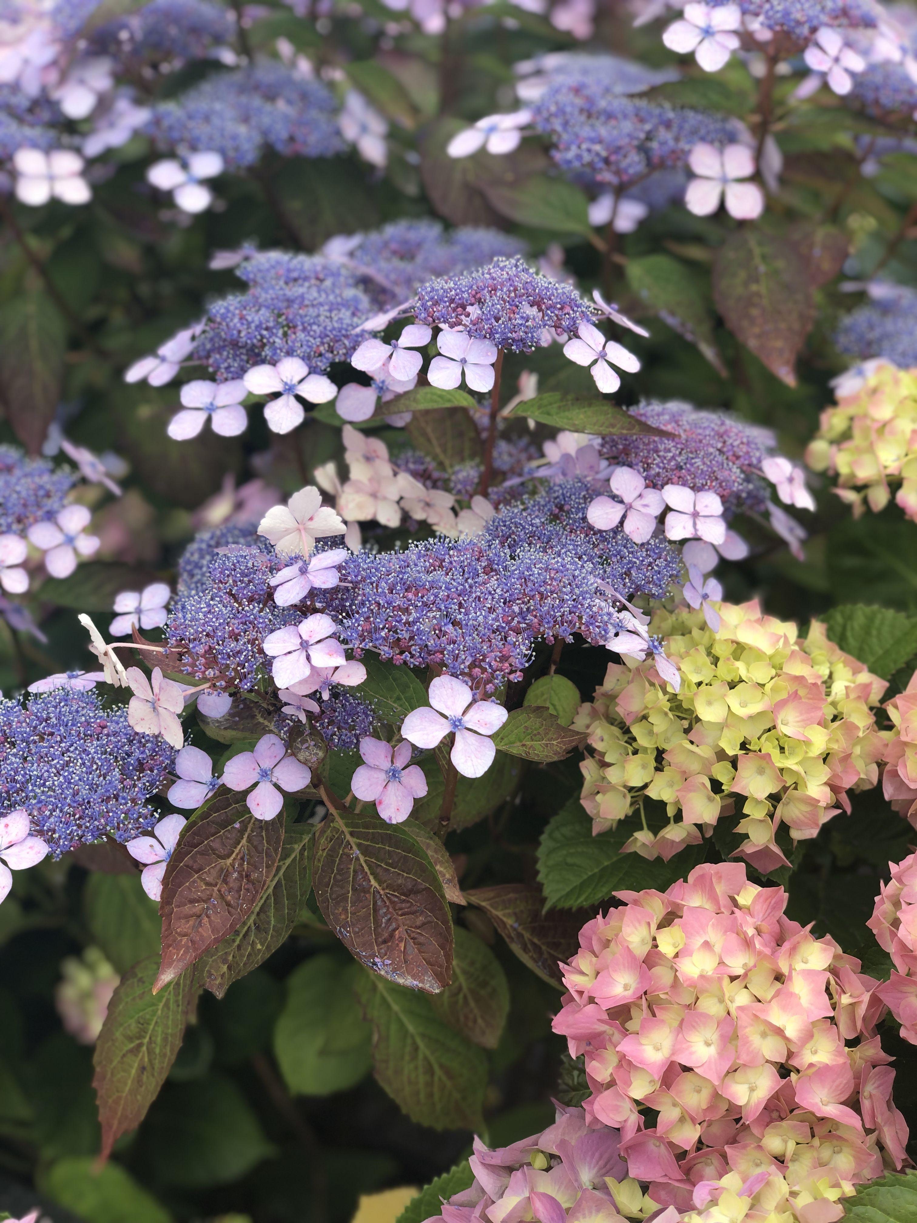 Hydrangea Heaven Garden Shrubs Flower Subscription Beautiful Flowers