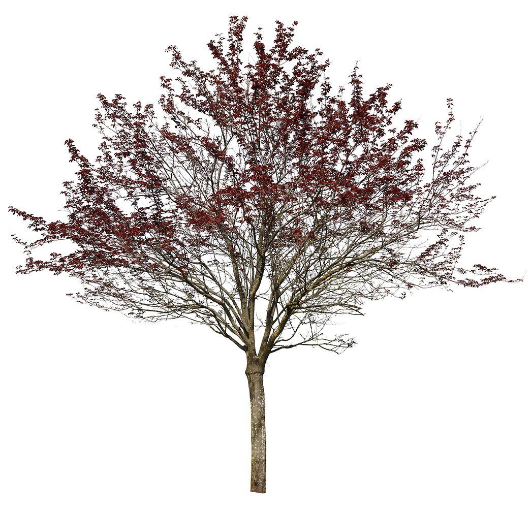 Prunus Cerasifera Var Pissardii Cherry Plum Tree 4451 X