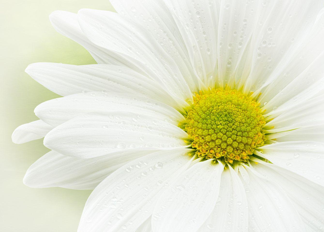 White Mum Flowers Pinterest White Mums And Flowers