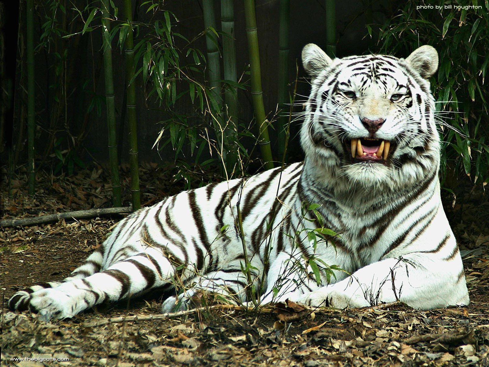 Japanese White Tiger Wallpaper Www Topsimages Com