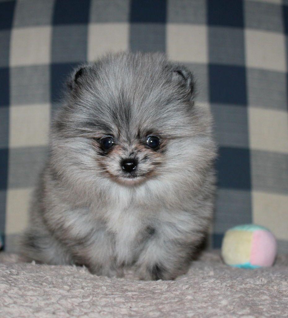 Blue merle pomeranian puppy pomeranian puppy blue merle