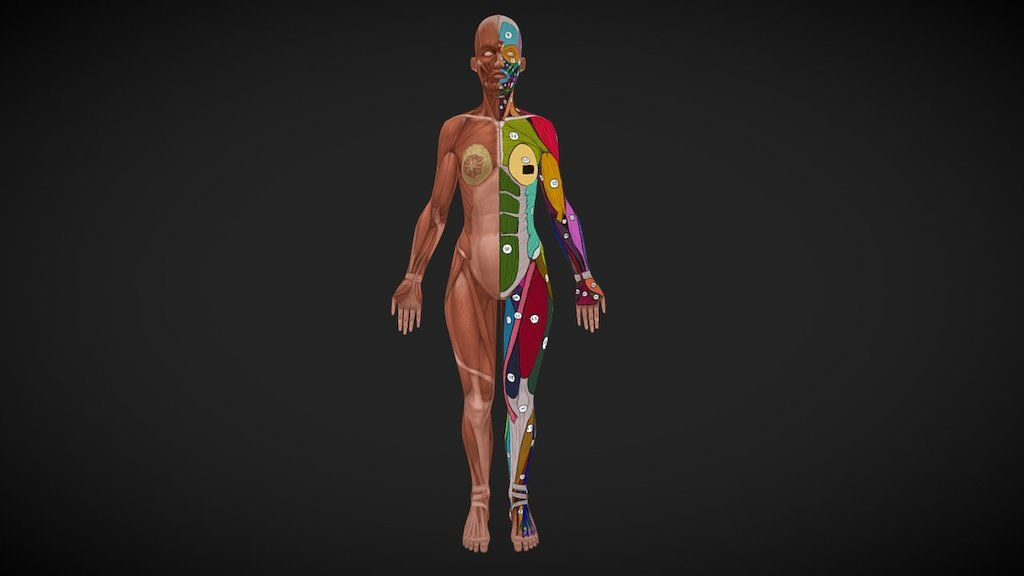 Interactive 3D model of muscle anatomy (via Sketchfab) | Education ...