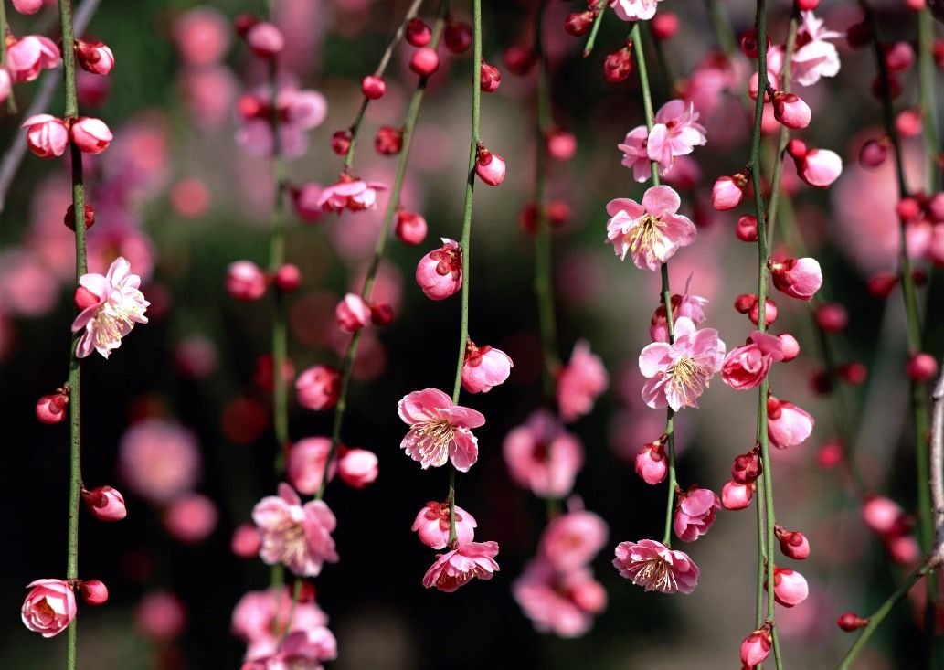 Download Gambar Bunga Sakura Khas Jepang Bunga Sakura Bunga Gambar