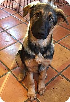 Federal Way Wa German Shepherd Dog Mix Meet Kado A Puppy For