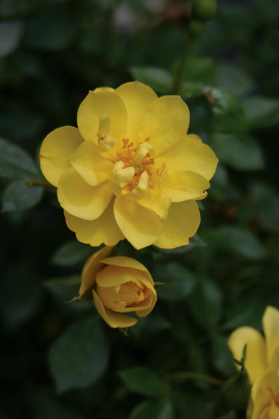 Oso Easy Lemon Zest Landscape Rose Rosa X Flowers Roses