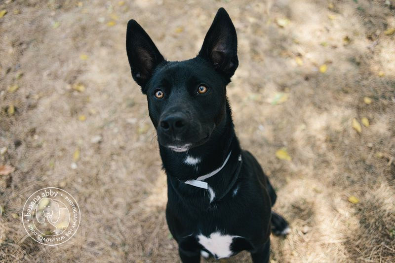 Black Lab German Shepherd Pitbull Mix | picturespider.com