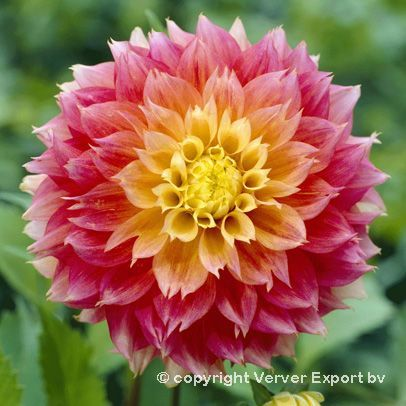 You Are Beautiful And One Of A Kind Don T Let Any One Bring You Down Dahlia Flower Flower Seeds Bulb Flowers