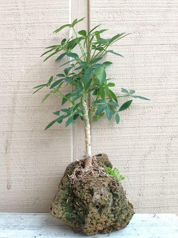 Bonsai Lava Rock Banyan Tree