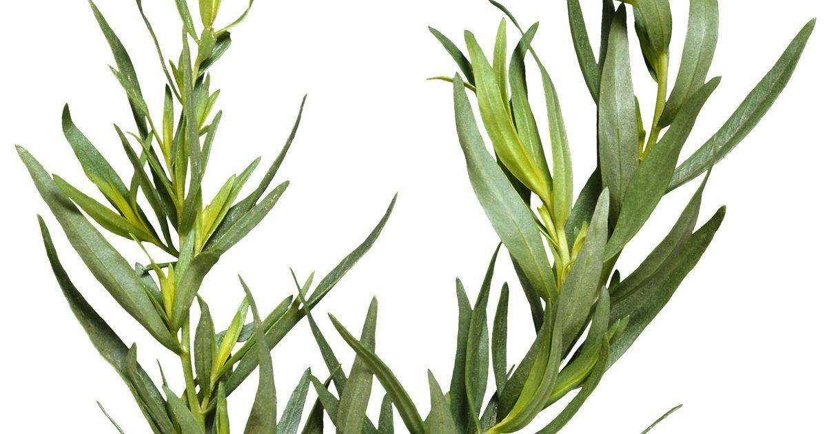 Hierbas que pueden sustituir al estragón | Ervas, Cultivo de ervas, Vegetais