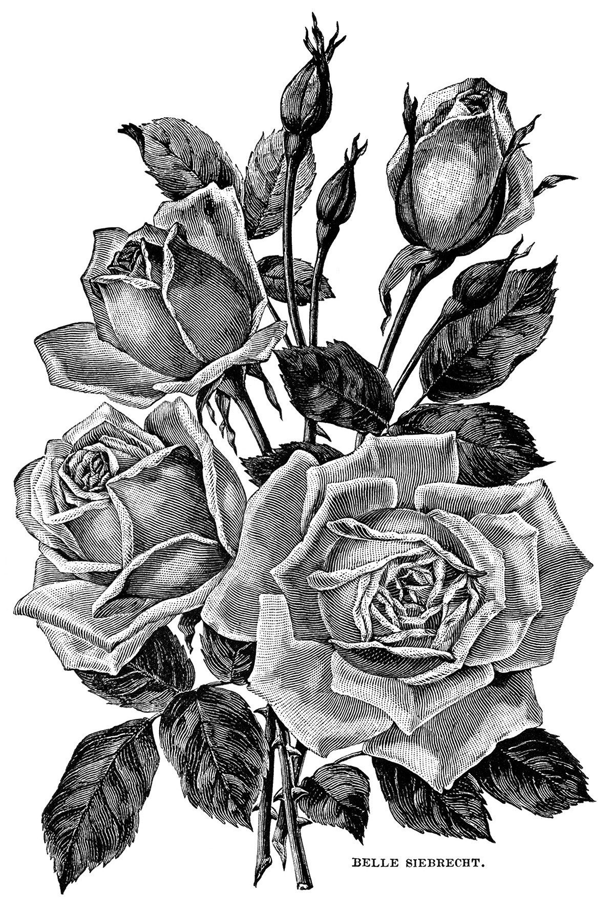 Vintage Garden Clipart Black And White Flower Illustration Roses