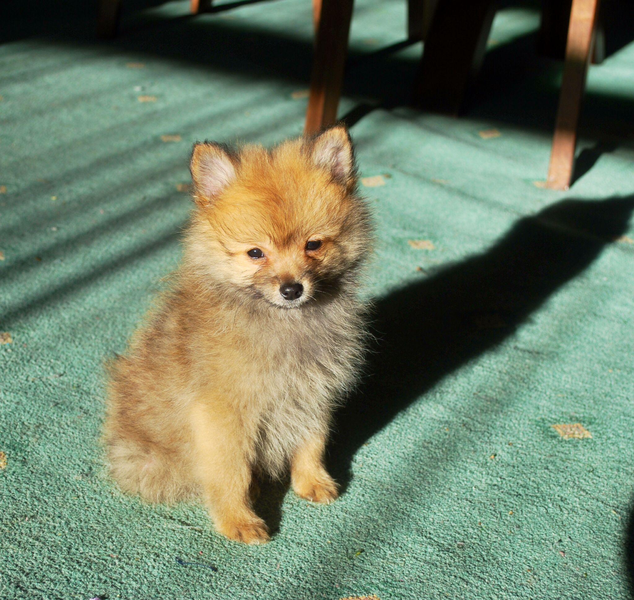 Pomeranian Puppy Pomeranian puppy, Pomeranian, Cute animals