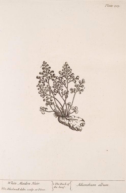 White maiden hair. [Adianthum album.] (1739)