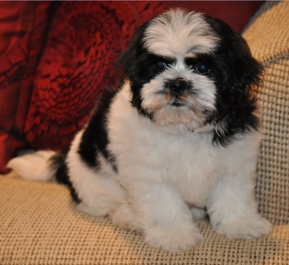 Male Black And White Shichon Bichon Frise Shih Tzu Hybrid Puppy