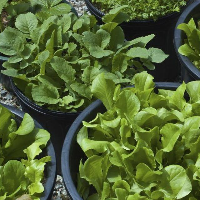 Use The Thinnings From Your Lettuce Containers For Super