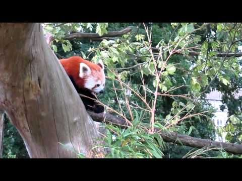 Red Panda At Cotswold Wildlife Park, UK - YouTube / #Magicflix #YouTube #Movie #Video #Kids #Toddlers #Education #Nature