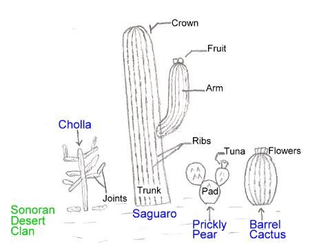 sonoran cacti] parts of a cactus school science nature journal Saguaro Cactus Roots Diagram