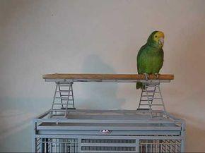 Parrot doing Pirates