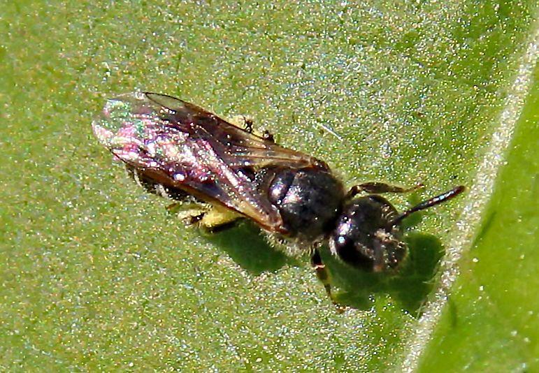 groefbij-lasioglossum halictus spec