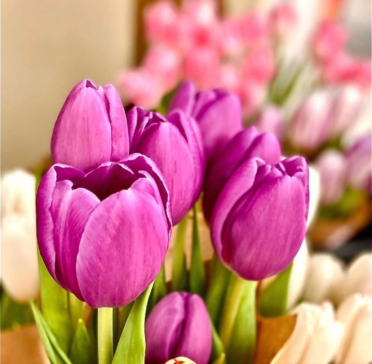 Tulip Flower In 2020 Flowers Tulips Flowers Wholesale Flowers
