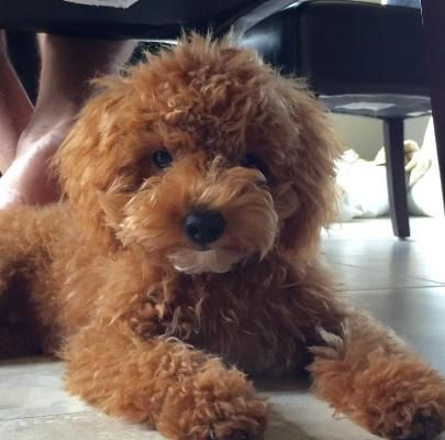 My Doodle Darlins Miniature And Petite Goldendoodle Breeder In